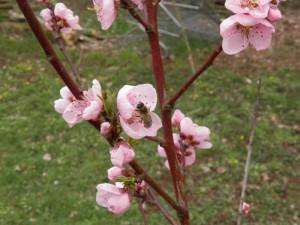 bij,  nectarinebloesem