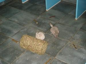 chinchilla's vrijloop