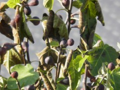 ligustrum ovalifolium,drogen van vijgen