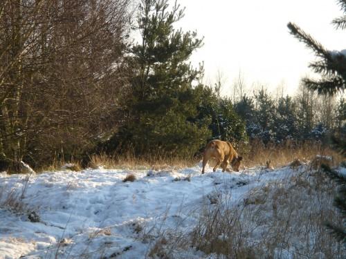 Castaar in de sneeuw.