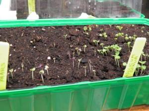 Groene en paarse basilicum