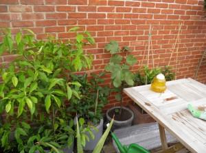 citrusplanten, overwintering