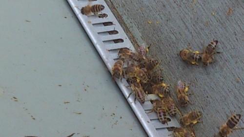 bijen met stuifmeel