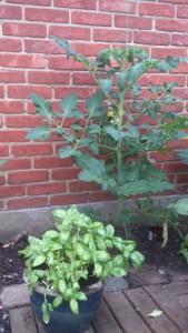 tomaat, basilicum