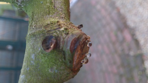 stuwing vijgenboom