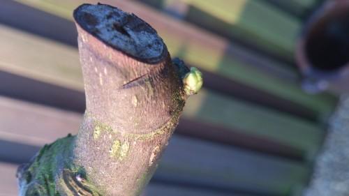 bladknop vijgenboom
