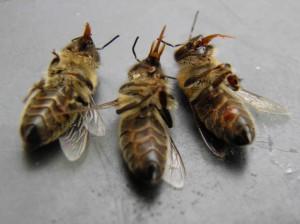 Bijen, intoxicatie, tong