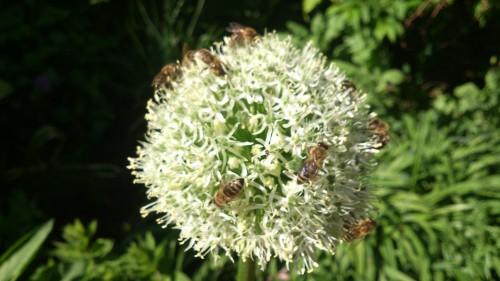 bijen op ui