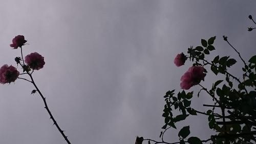 rozen met kerstmis