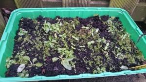 winterakoniet, kiemplantjes